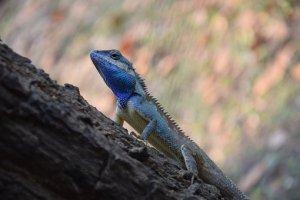 lizard-4217059__340