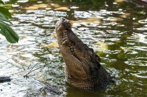 crocodile-630231__340