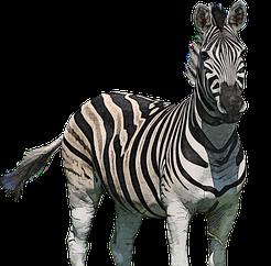 zebra-4690040__340 (2)